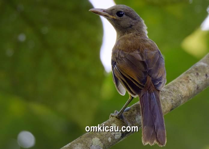 Burung pitohui yang kera disebut sebagai cucak rotan atau cucak rawa papua karena suaranya lantang dan bervariasi