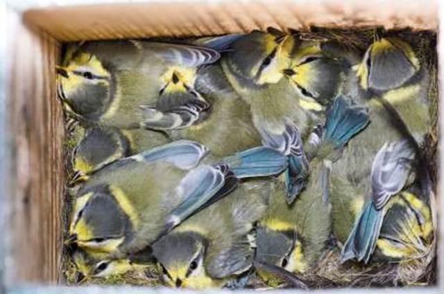 Anakan burung blue tit dalam satu sarang yang berasal dari beberapa burung jantan