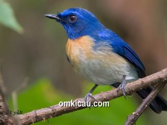 Sikatan melayu, burung bersuara merdu yang populasinya semakin terancam