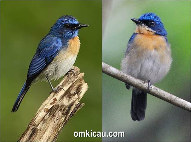 Penampilan sikatan melayu jantan (kiri) dan sikatan melayu betina