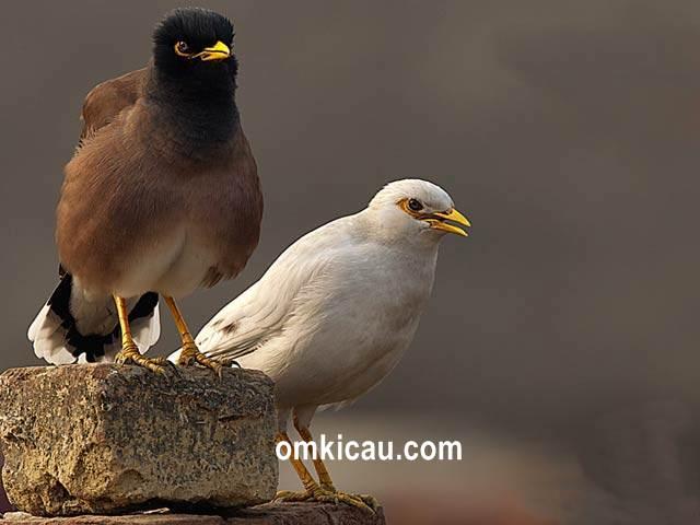 Suara asli hutan burung jalak untuk masteran dan memancing bunyi