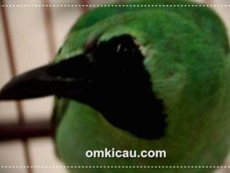 Burung cucak hijau yang rentan alami over birahi (OB)