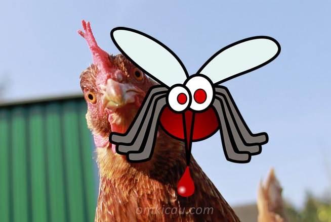 Penelitian terbaru mengungkap bahwa ayam bisa mencegah gigitan nyamuk pembawa malaria