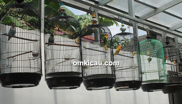 Breeding lovebird BBF Bogor