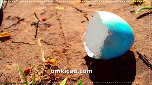 Tips dan trik mencegah burung indukan membuang telur