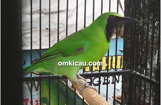 Cucak hijau Matrix milik Om Iyank