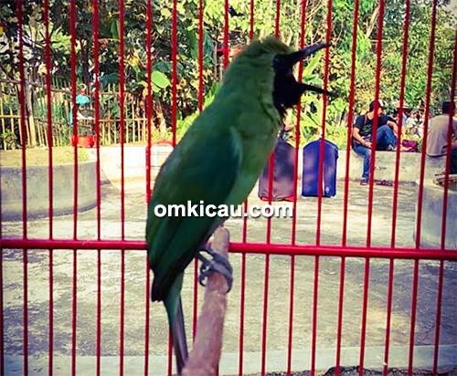 Cucak hijau Balerang milik Om Eric
