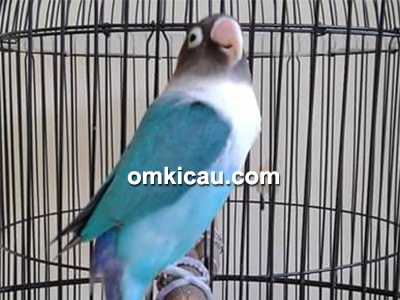 feat lovebird Iyem