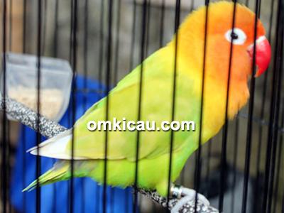 feat lovebird Ramones