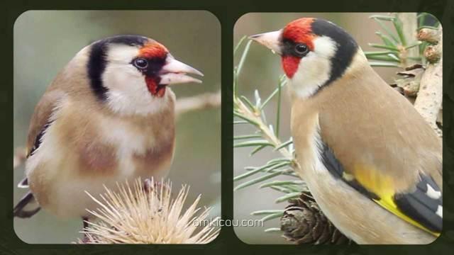 Perbedaan goldfinch jantan (kanan) dan betina