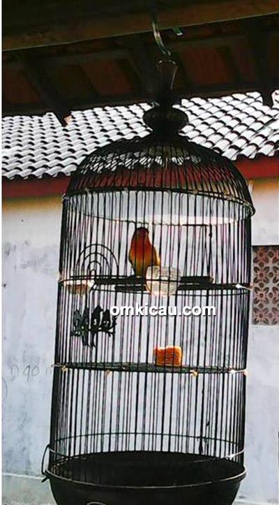 Lovebird Go-Ex Go-Nyek