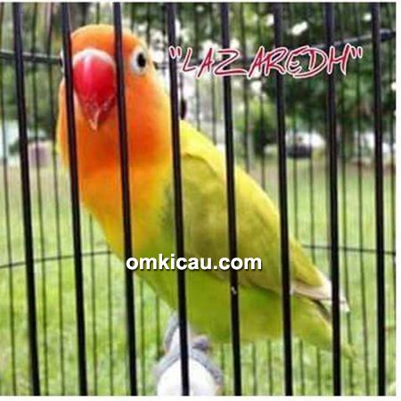 lovebird Lazaredh