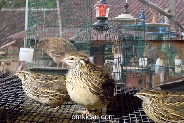 Burung puyuh: Puyuh yang banyak dipelihara untuk dilombakan