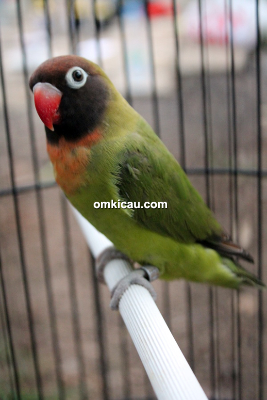 Lovebird Gisella