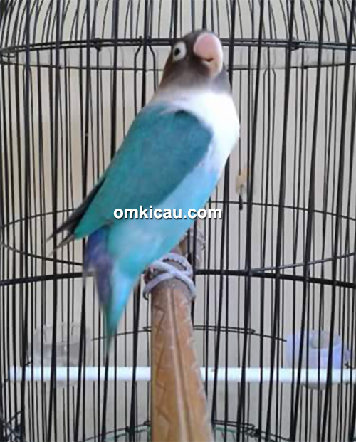 Lovebird Iyem