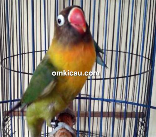 Lovebird Sonic milik Om Andi LB