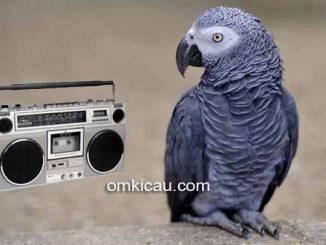 Sebuah penelitian menyebutkan bahwa burung paruh bengkok memiliki selera musik yang tinggi
