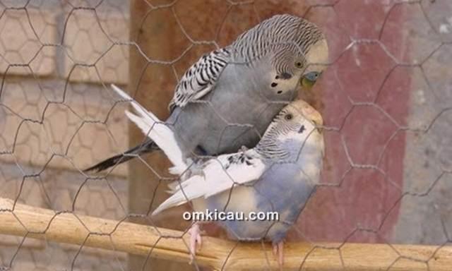 Burung parkit yang banyak dipelihara untuk ditangkarkan
