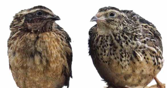 Burung puyuh jantan (kanan) dan betina