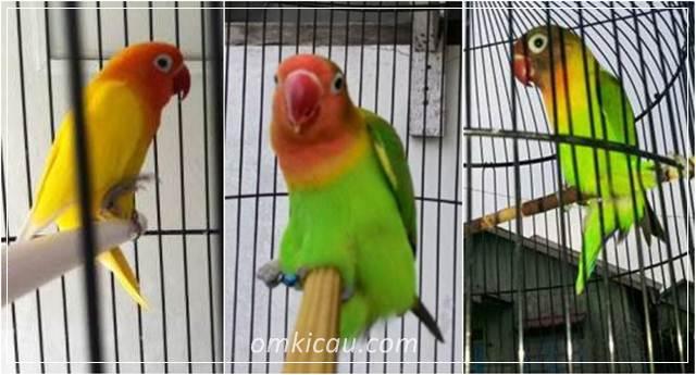 Beberapa cara mengatasi lovebird sering gesek tangkringan