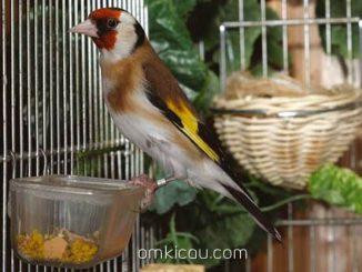 Tips menangkar burung goldfinch dan menjadikan indukan lebih produktif