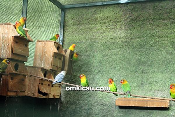 Breeding lovebird U2 BF Depok