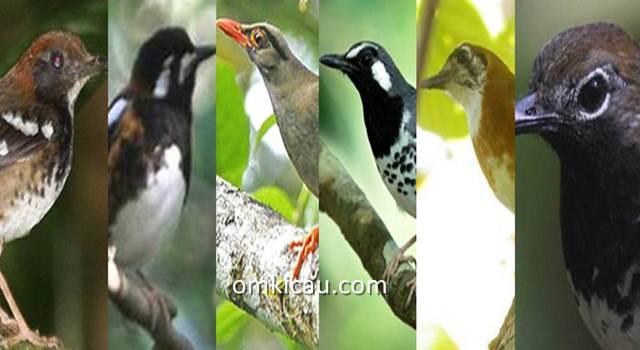 11 burung anis endemik indonesia