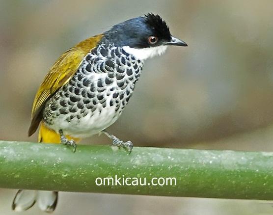 Burung cucak bersisik/Scaly-breasted bulbul