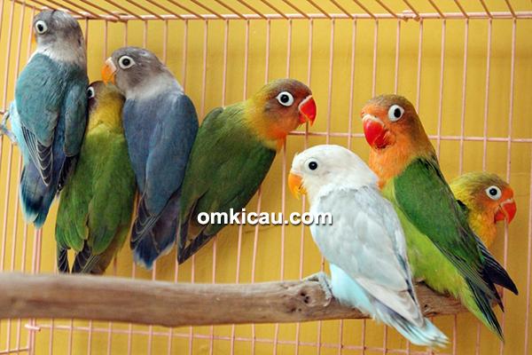 Anakan lovebird umur di bawah 4 bulan