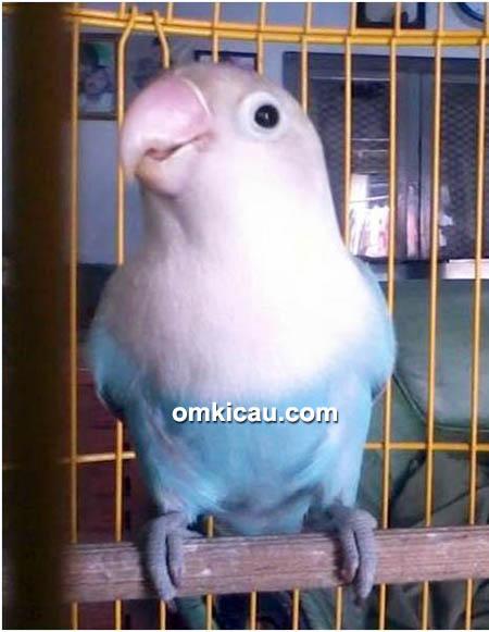 Lovebird Wak Waw