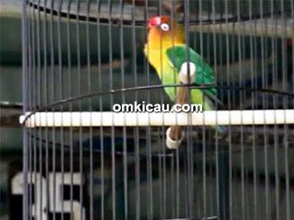 Lovebird Arnold