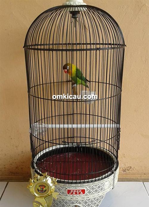 Lovebird Dayang Sumbi