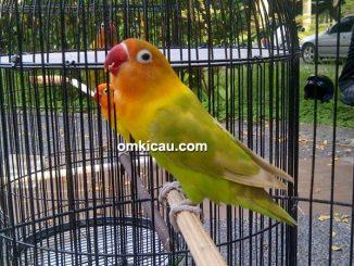 Lovebird Halimun