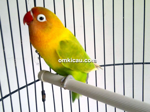 Lovebird Pancasona milik Om Eko LMS