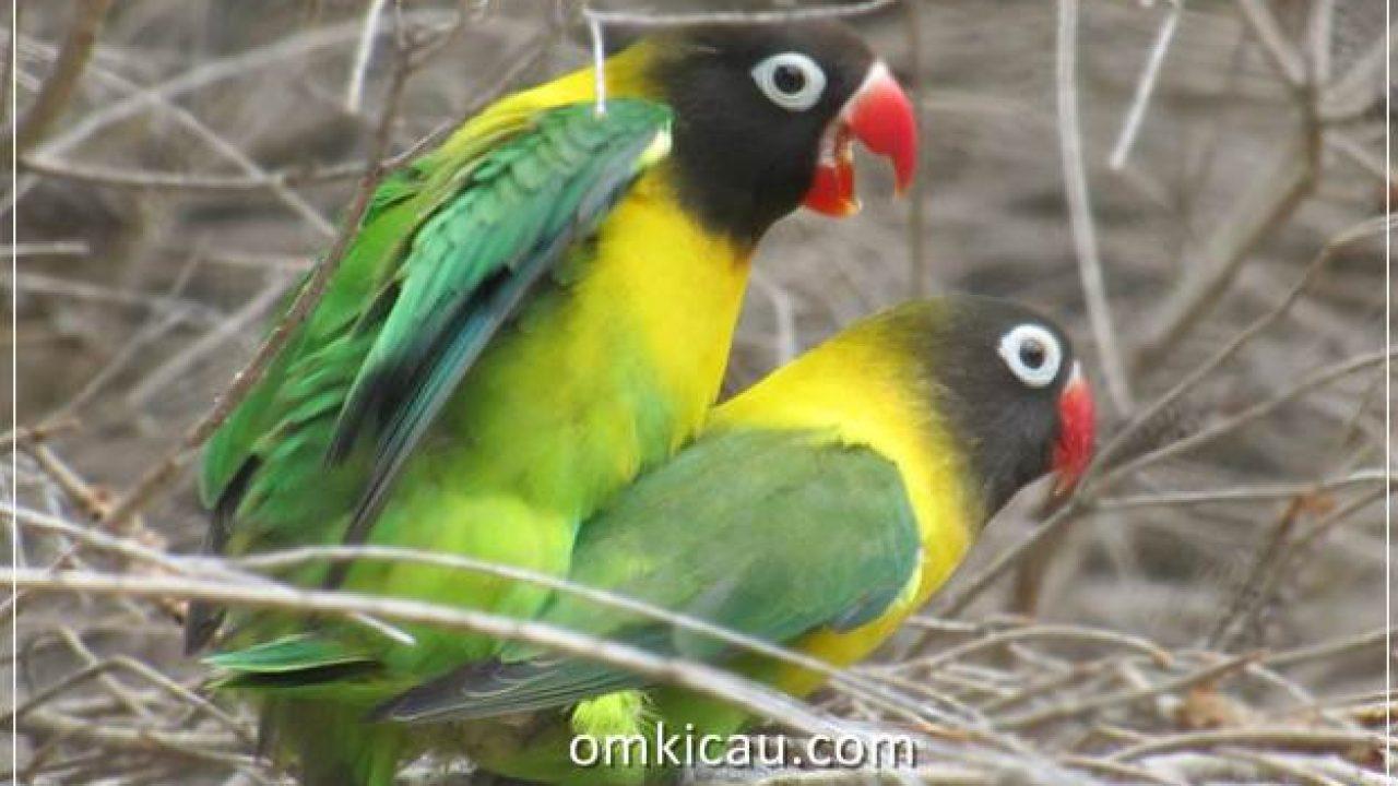 Mengapa Peternak Lovebird Impor Jarang Memberikan Sayuran Untuk