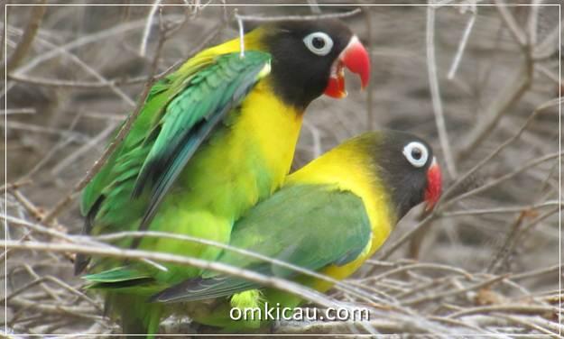 Menangkar lovebird impor memerlukan asupan pakan yang tepat agar penangkaran berjalan tanpa hambatan