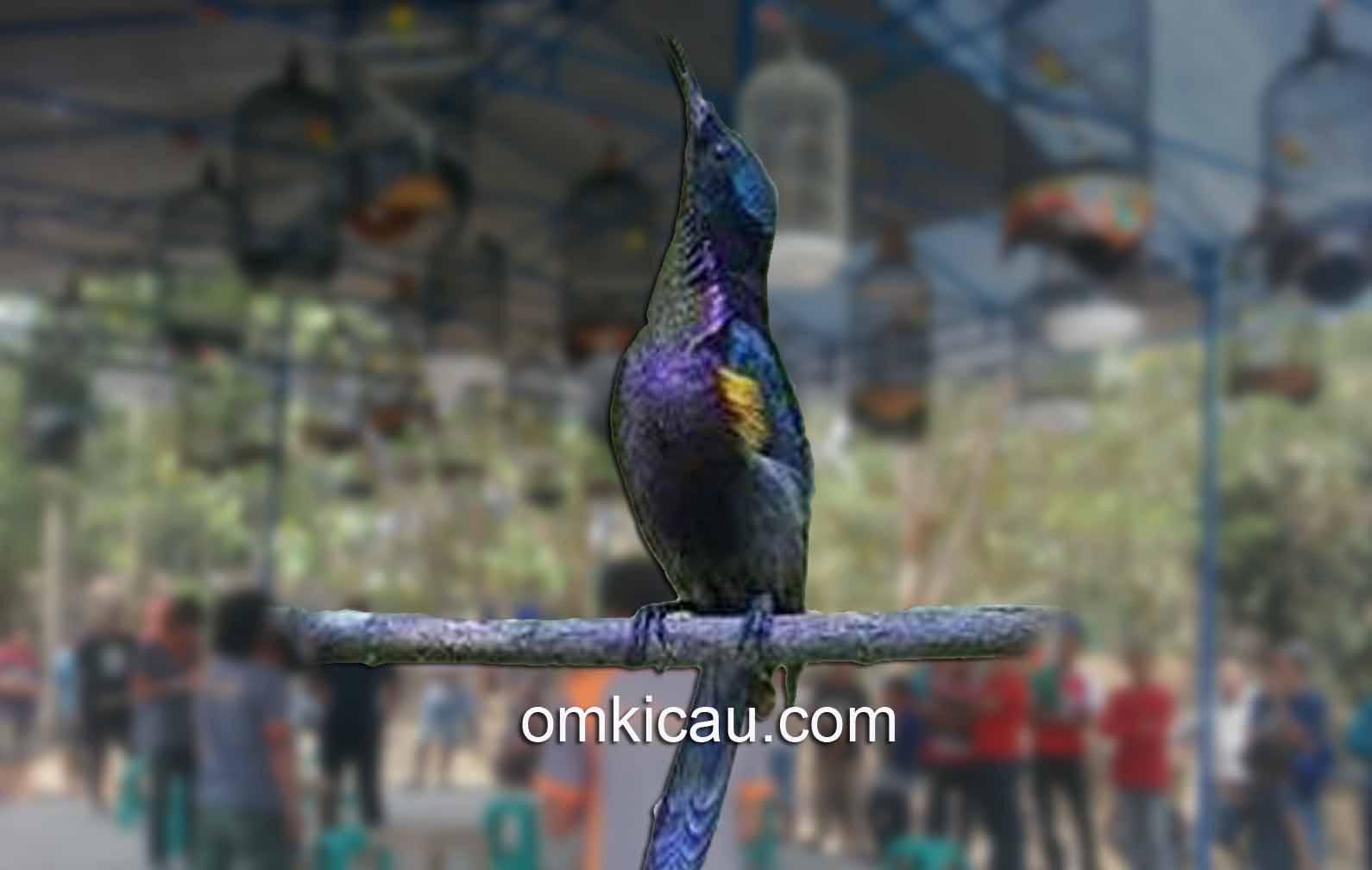 Perawatan tepat jadikan kolibri ninja selalu siap lomba