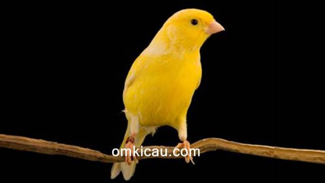 Cara Merawat Burung Kenari Bakalan Agar Rajin Berbunyi Om Kicau