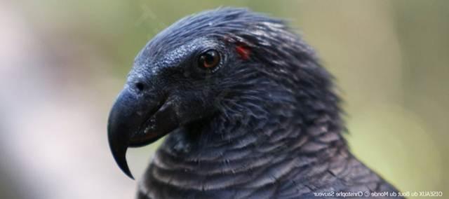 Bercak/titik merah di belakang mata menjadi ciri yang membedakan nuri kabare jantan dengan betina
