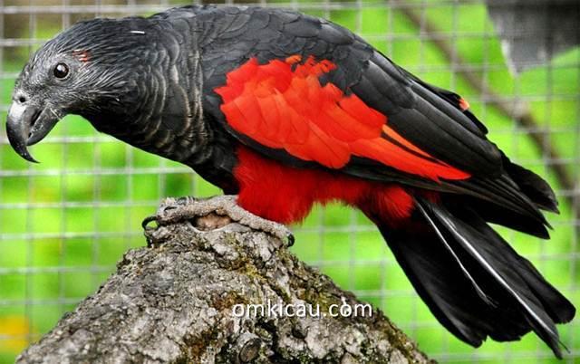 Nuri kabare (Psittrichas fulgidus) burung parrot unik khas Papua