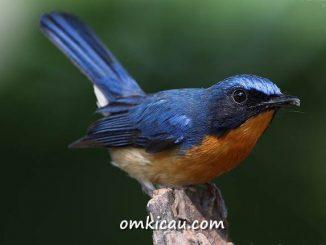 Perawatan burung tledekan yang macet bunyi