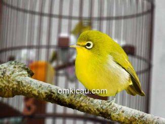 Suara pleci betina untuk memancing burung jantan buka paruh