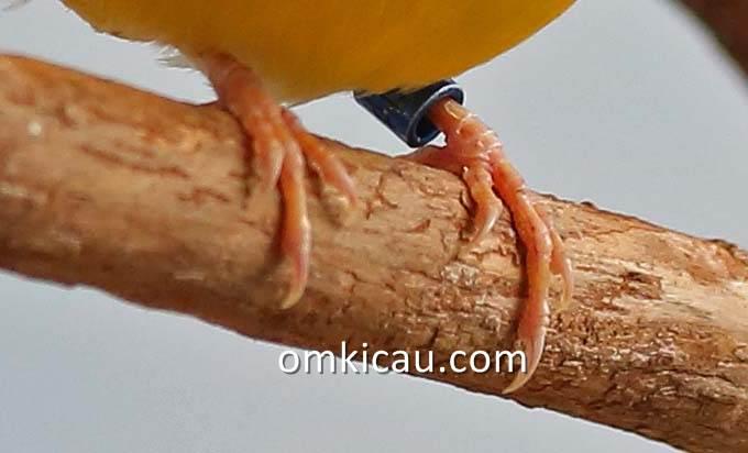 Mendeteksi penyakit burung dengan mengamati warna kaki burung