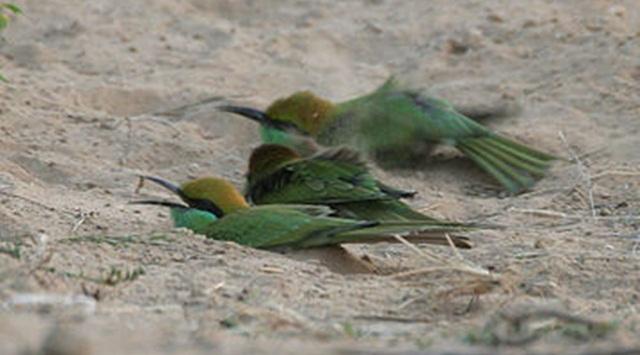 Burung-burung yang sedang mandi debu