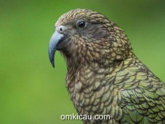 Burung kea (Nostur notabilis)