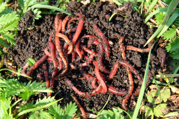 Cacing merah (Pheretima sp)