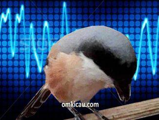 Burung cendet sering merasa ketakutan pada benda dan suara-suara
