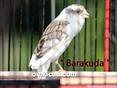 feat-kenari-barakuda