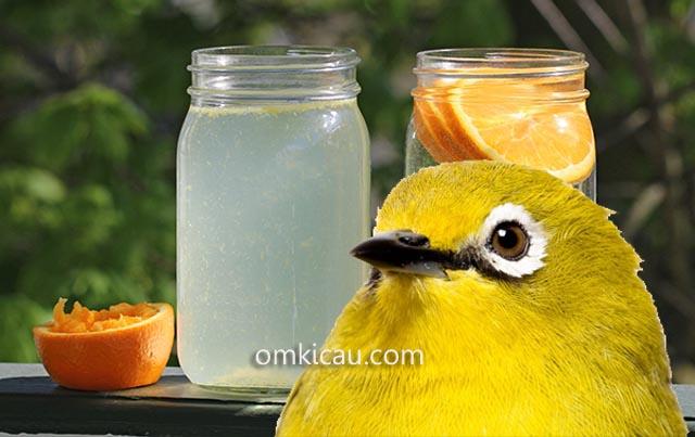 Infused water sebagai air minum alami berkhasiat untuk burung peliharaan