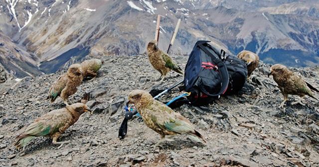 Burung kea yang mencuri lalu merusak ransel milik wisatawan
